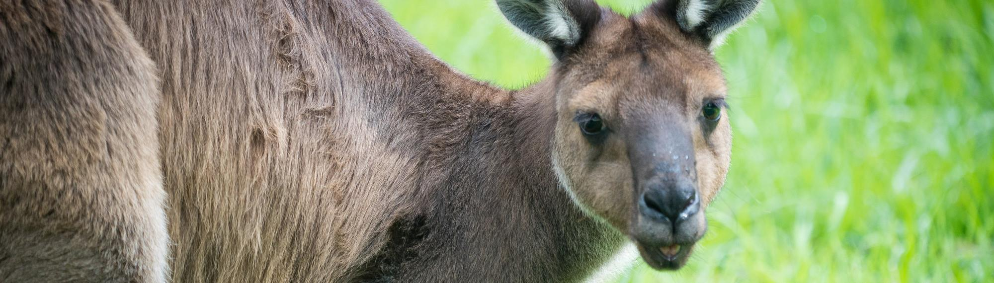 Want to know the latest updates of Melbourne kangaroo feeding